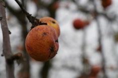 jabłka7